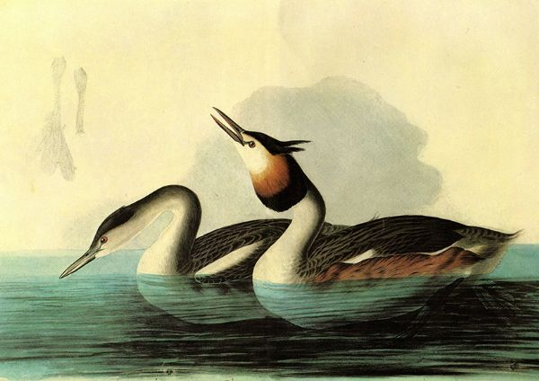 Audubon, John James: Great Crested Grebe. Ornithology Fine Art Print/Poster. Sizes: A4/A3/A2/A1 (001118)